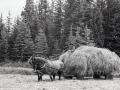 162-Kluskus Makeing Hay